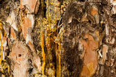 The drops of resin flow down on the bark of pine-tree a large pl — Stock Photo