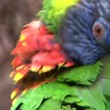 Parrot Flying Away — Stock Video