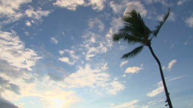 One Palm Tree Blowing in Wind — Stock Video