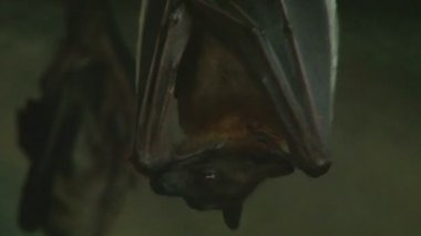 Close up shot of a vampire bat hanging upside down cleaning itself then listening intently to sound — Stock Video
