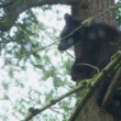Stock Video: Bear climbs down from tree