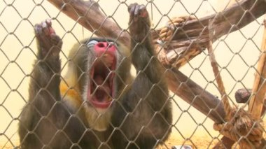 In the monkey cage at the zoo — Stock Video