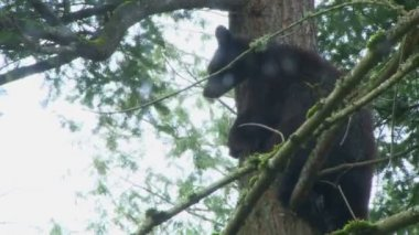 Bear climbs down from the tree — Stock Video