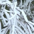 Icicles formed on tree branches after winter storm. - 