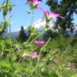 Wildflowers sway in the breeze with Mount Hood in Oregon camera zoom in. — Stock Video