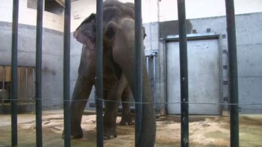 Elephant in the zoo behind the cage — Vídeo de Stock