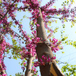 Stock Photo: Pink Tree Flowers Blooming