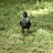 Stock Photo: Jackdaw