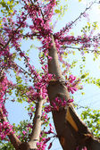 Pink Tree Flowers Blooming — Stock Photo