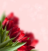 Red tulip background — Stock Photo