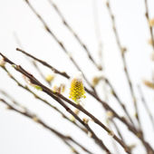 Pussy willow in blossom — Stock Photo