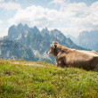 Cow resting outdoors in the mountains. Dolomites, Italy. - Stock Photo