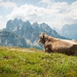 Stock Photo: Cow resting outdoors in the mountains. Dolomites, Italy.