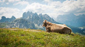 Cow resting outdoors in the mountains. Dolomites, Italy. — Stock Photo