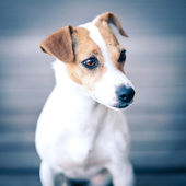 Jack Russell terrier portrait. — Stock Photo