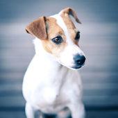Jack Russell terrier portrait. — Stock Photo