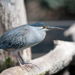 Black-crowned night-heron bird. Nycticorax — Stock Photo