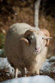 Sheep on mountain plateau pasture with snow — Stock fotografie