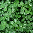 Stock Photo: Clover with dew