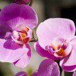 Close-up pink orchid - Stock Photo