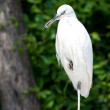 White heron - Stock Photo