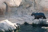 Zeeleeuw wandelen in een dierentuin — Stockfoto