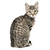 Little gray kitten isolated on white background — Stock Photo