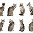 Collage of Little gray cat in different positions isolated on wh — Stock Photo #19999259