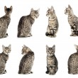 Collage of Little gray cat in different positions isolated on wh - Stock Photo
