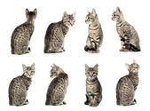 Collage of Little gray cat in different positions isolated on wh — Stock Photo