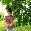 Royalty-Free Stock Photo: Young child picking up cherries from the tree.