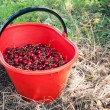 Bucket of juicy cherries. - Stock Photo