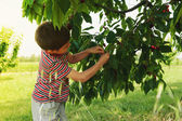 Young child picking up cherries from the tree. — Stockfoto