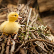 Stock Photo: Cute little gosling over branches tree.