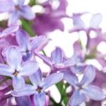 Постер, плакат: Lilac Flower