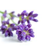 цветы лаванда — Стоковое фото