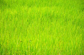 Rice Background — Stock Photo