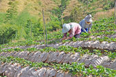 Farmers harvests strawberries — Stockfoto