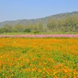 Stock Photo: Cosmos flower field