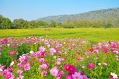 Cosmos flower and crotalaria field — Foto Stock