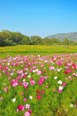 Cosmos flower and crotalaria field — Stock Photo