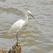 Egret — Stock Photo #40682667