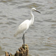 Egret — Stock Photo #40958013