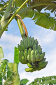 Kilka bananów — Zdjęcie stockowe
