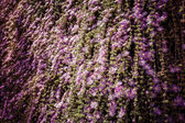 Cascade blooming ivy — Stock Photo