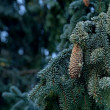 Royalty-Free Stock Photo: Spruce twig with fir-cone
