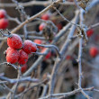 Wild rose hips — Stock Photo