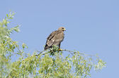 Lesser Spoted Eagle — Stock Photo