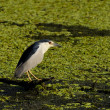 Stock Photo: Black-Crowned Night-Heron