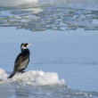 Great Cormorant — Stockfoto